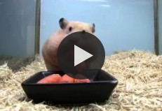 A Hamster Puts 5 Carrots In Her Mouth